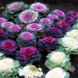 Flowering Kale Seeds...