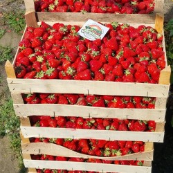 Strawberry seeds APRICA