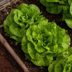 Butterhead Lettuce Seed Vuka
