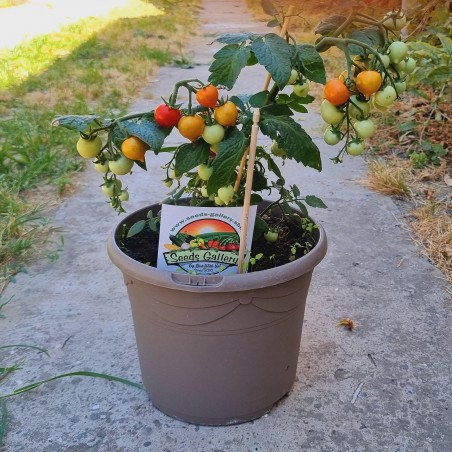 Dwarf tomato seeds Evita