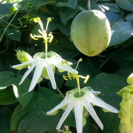 SURURUCA Seeds (Passiflora setacea)