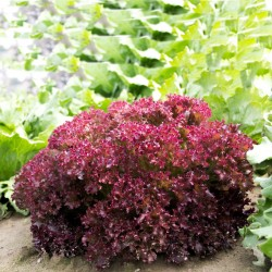 Lettuce Seeds Lollo Rossa...