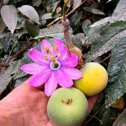 Tauso Tohumları (Passiflora...
