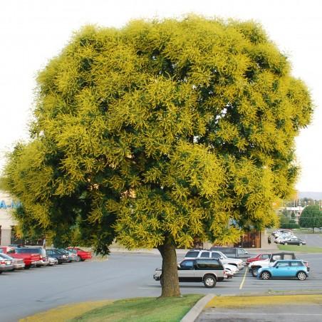Altuni fener ağacı tohumları (Koelreuteria paniculata)