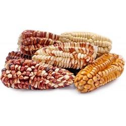 Peruanische Riesen rote Sacsa Kuski Mais Samen 3.499999 - 11