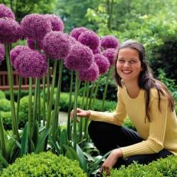 Giant πράσο Allium Sensation Mix - βολβοί 4.5 - 8