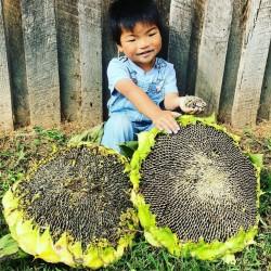 1000 Samen Riesige Sonnenblume - Mongolische Riesen 9.95 - 2