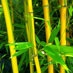 Clumping, Yellow Bamboo Seeds Hardy (Fargesia Fungosa) 2.25 - 3