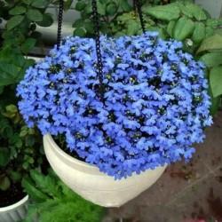 Linum perenne, Perennial Flax, Blue Flax Seeds 2.95 - 1