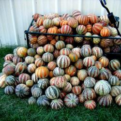 Rare Exclusive KAJARI Melon Seeds 2.25 - 1