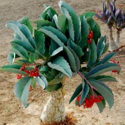 Tree Grape Seeds (Cyphostemma juttae) 7.5 - 1