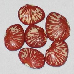 Lima Bean Ping Zebra Seeds (Phaseolus lunatus)  - 4