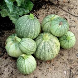 RONDE DE NICE Round Zucchini Seeds  - 2