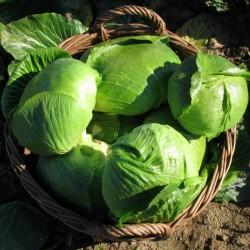 Varazdin lahana tohumları  - 3